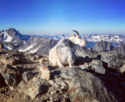 Mountain goat taking in the view