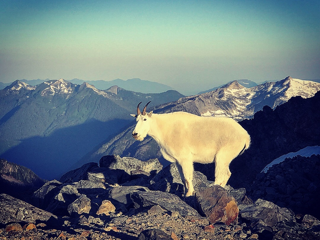 Mountain goat at our campsite