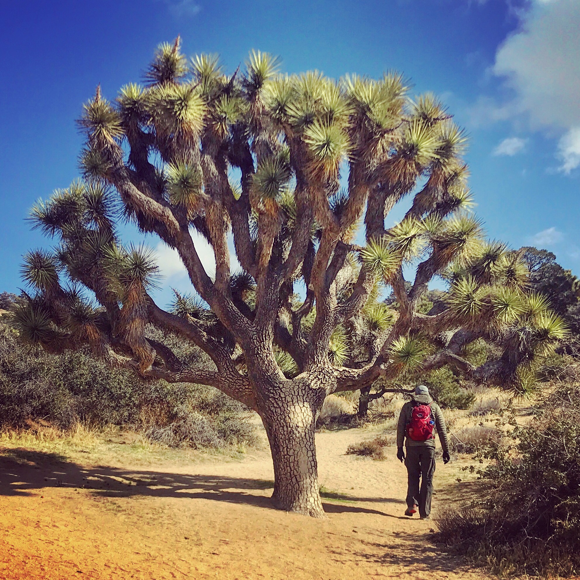 Matt hiking under a Joshua tree