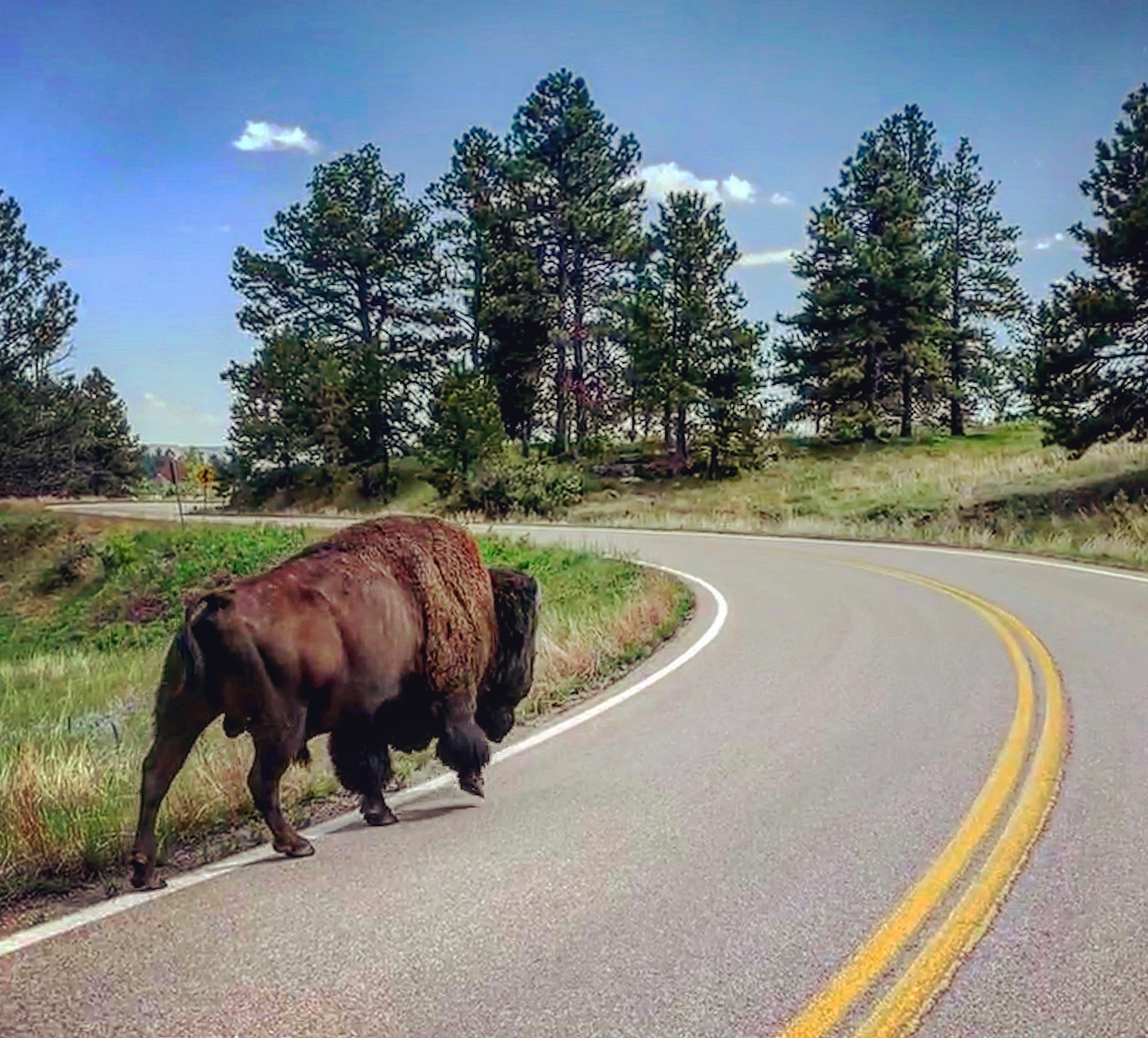Bison in Wind Cave Nat'l Park
