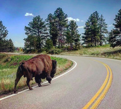 Bison in Wind Cave Nat'l Park