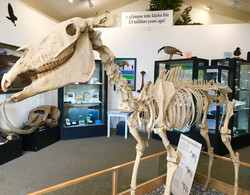 Hagerman Horse Fossil