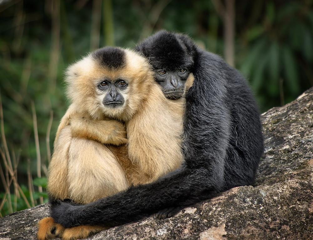 Gibbon Hugging