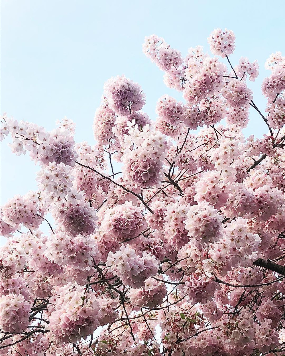 Cherry blossom trees in the spring with a blue sky background