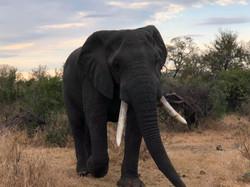 Elephants AFRICA 2019