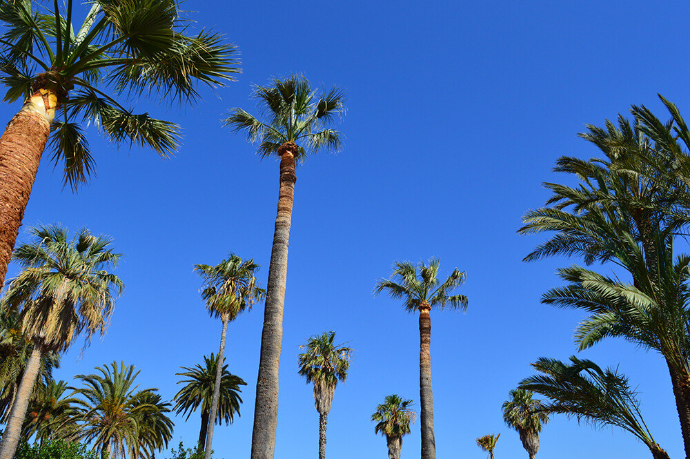 Towering palm trees in Antibes