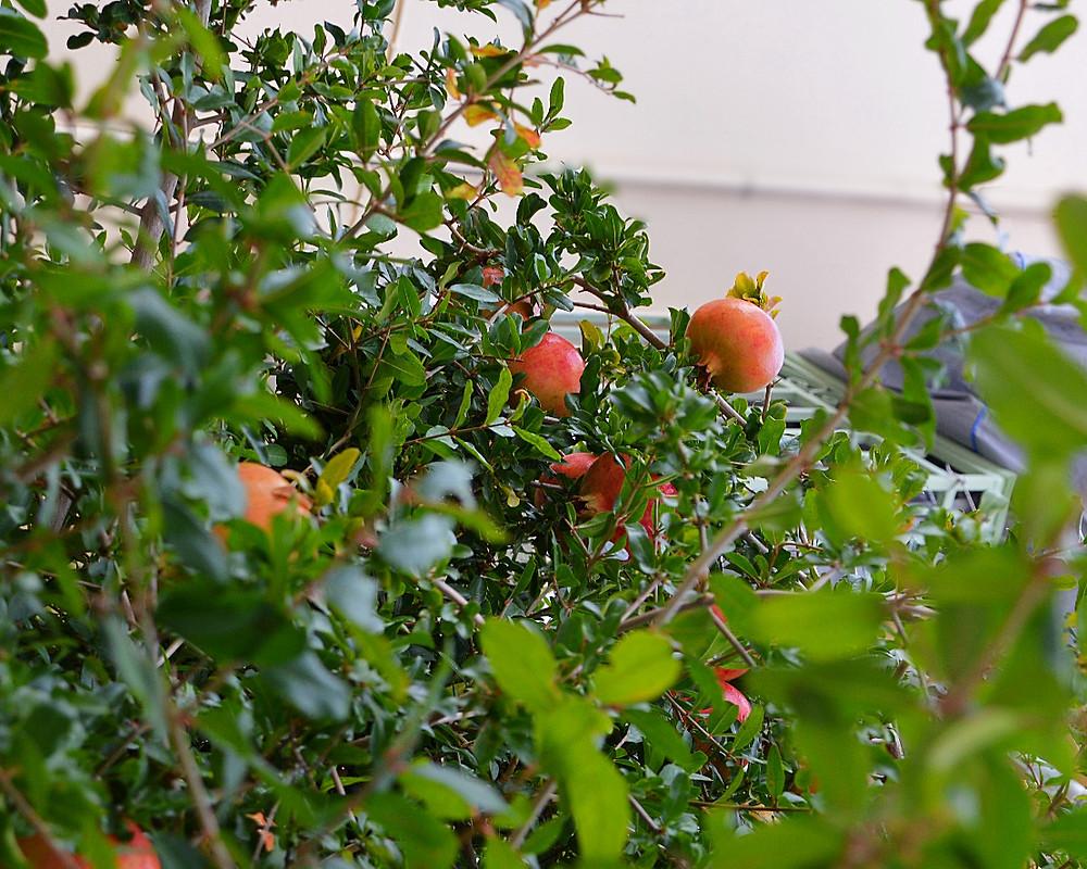 Pomegranate trees bursting with fruit