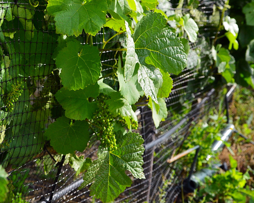 young grapevines in the Douro