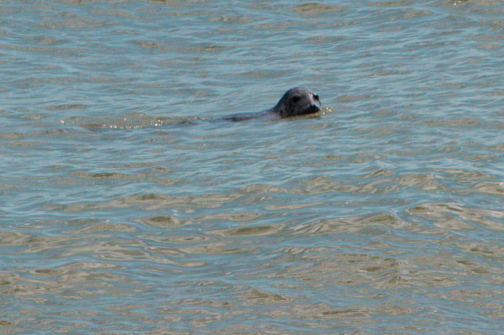 Swimming seal, Dungeness