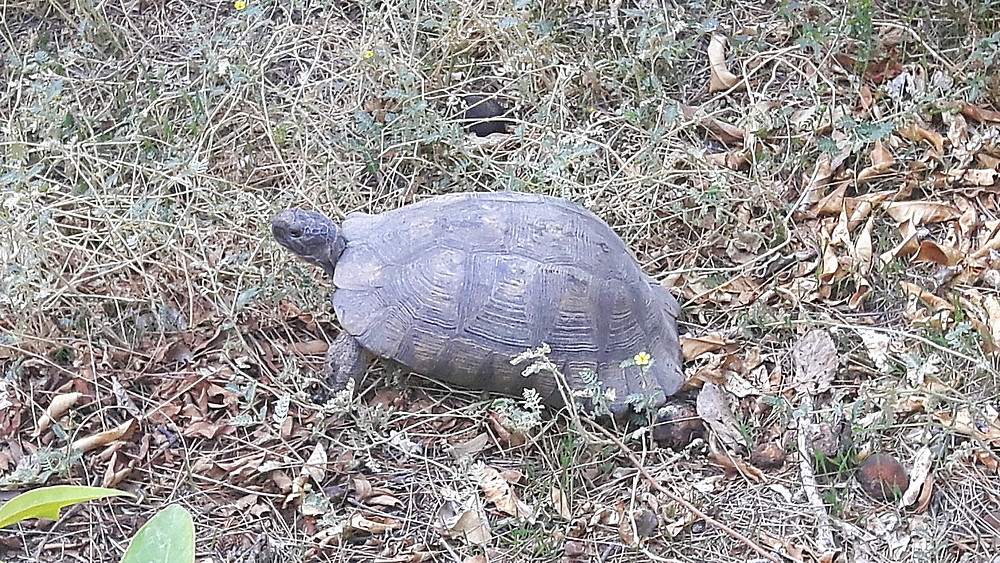 Wild tortoise in the National Garden, Athens