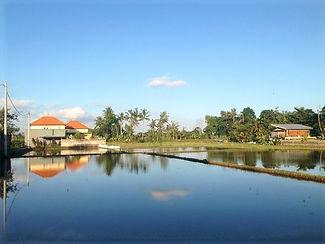 Bali-ricefield