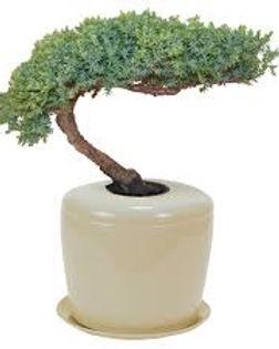 BONSAI TREE MEMORIAL.jpg