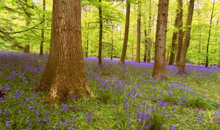 Bluebells at Blackpool Bridge, Soudley, Forest of Dean