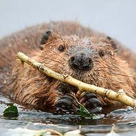 beaver1W.jpg