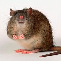 rat_3529999k.jpg