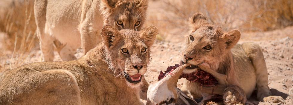 Feeding on a kill