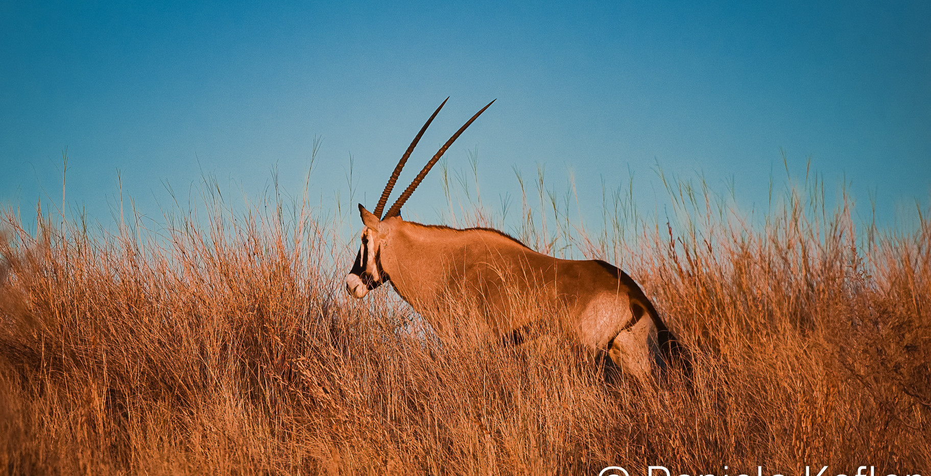 Gemsbok in t he long grass