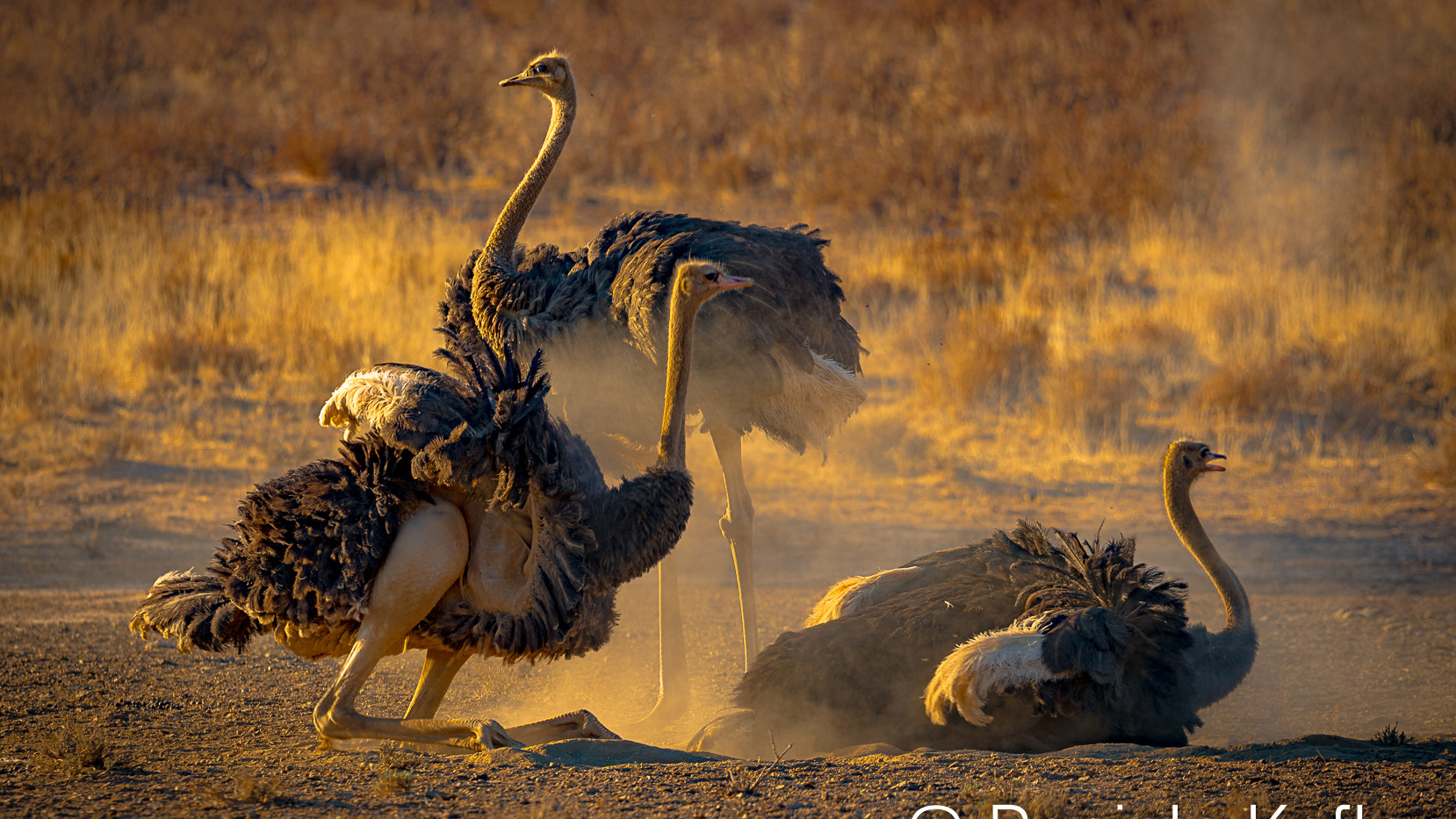 Ostrich dust bath