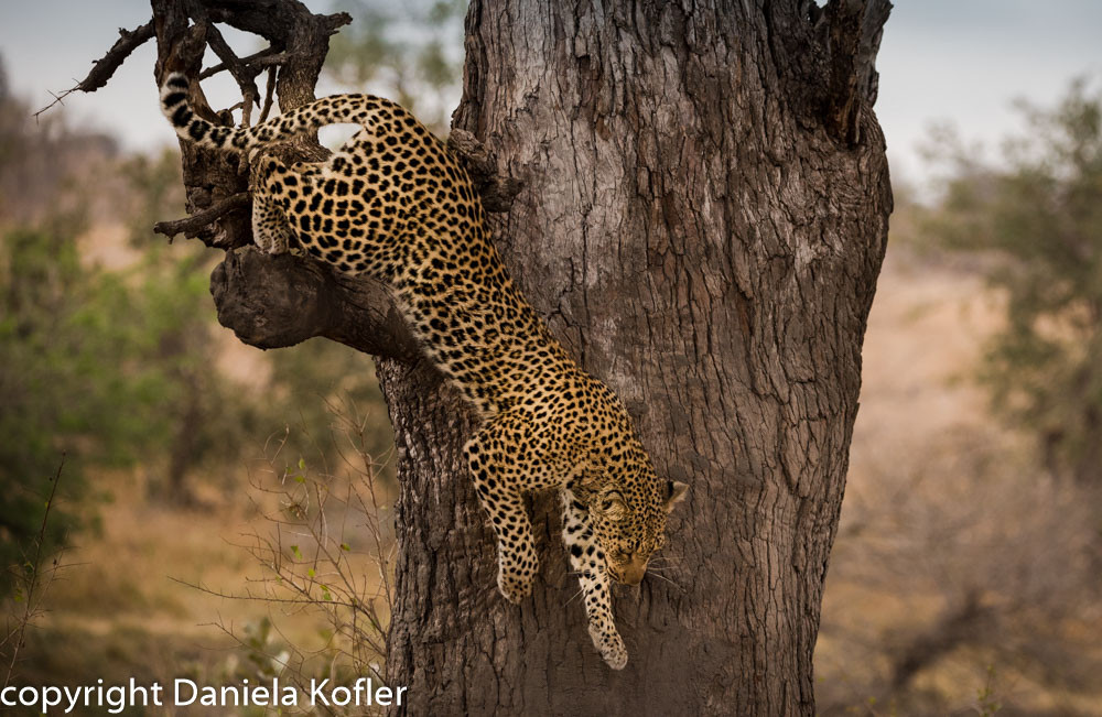 Leopard decending from tree