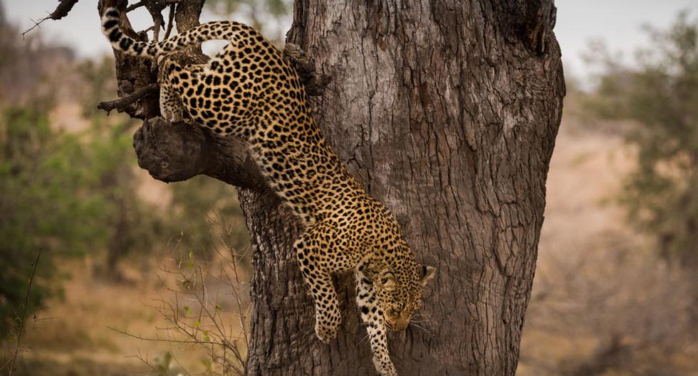 Leopard decending from tree