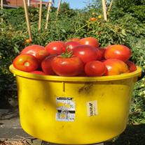 TKO Tomato Paste