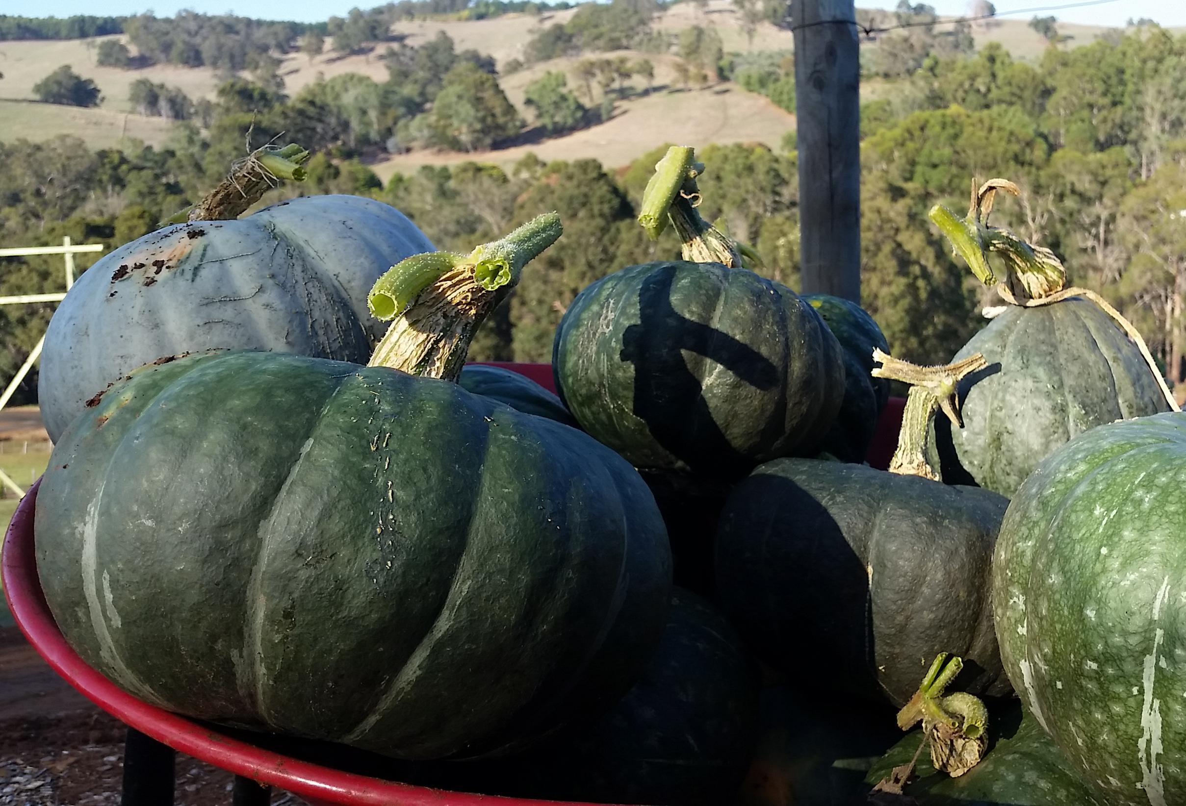 LHF Pumpkin Harvest b