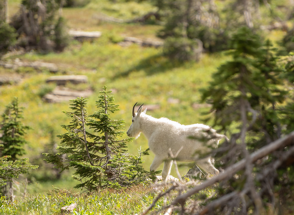 goat on mountain at glacier national park
