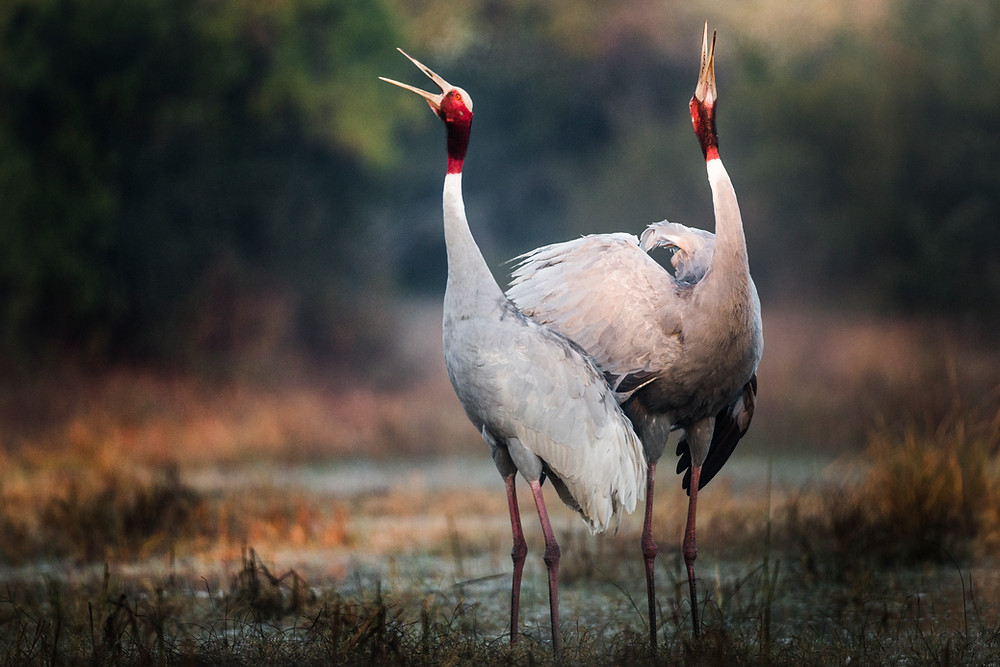 Two sarus cranes calling out.