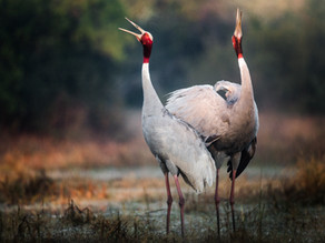 Fall in Love With the Bird of Love — the Sarus Crane.