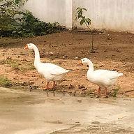 YNI geese in the house_edited.jpg