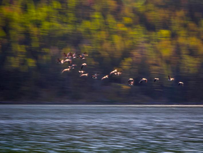 Geese over mountain lake