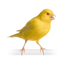 yellow-canary-serinus-canaria-on-its-per