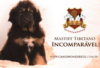 Mastiff Tibetano-Canil Solar Wonderful