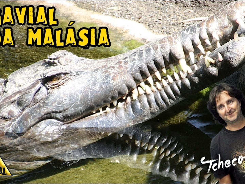 GAVIAL DA MALASIA