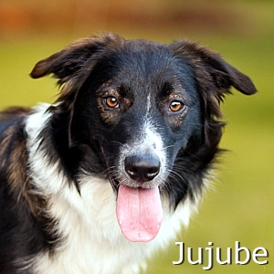 Jujube-TN