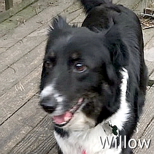 Willow_TN