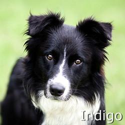 Indigo-TN