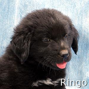 Ringo_TN.jpg