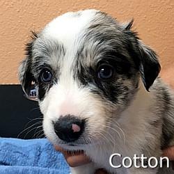 Cotton-TN.jpg