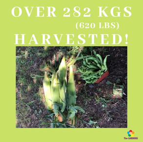 y Over 282 kgs (585 lbs) harvested!.jpg