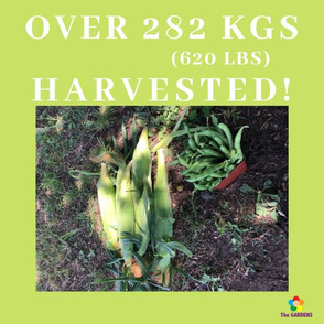 y Over 282 kgs (585 lbs) harvested!.jpg