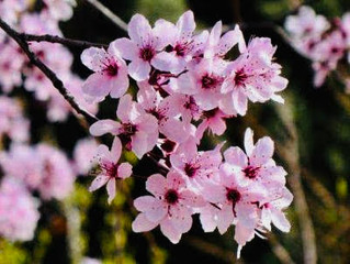 Cherry Plum brings relief with Spring