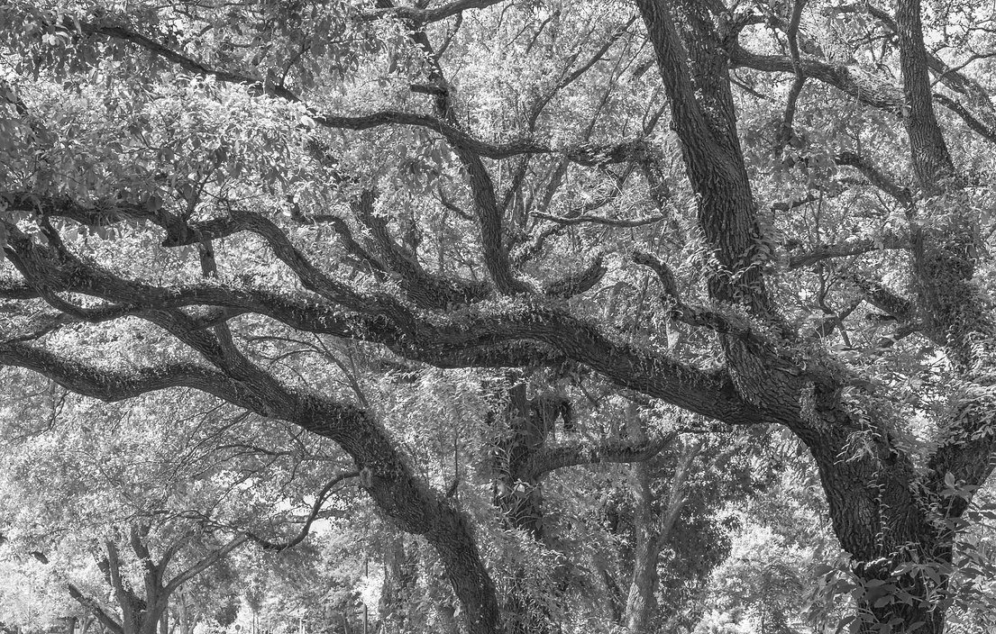 tree black & white, tree, black & white, treetops park, nature photography, fine art photography