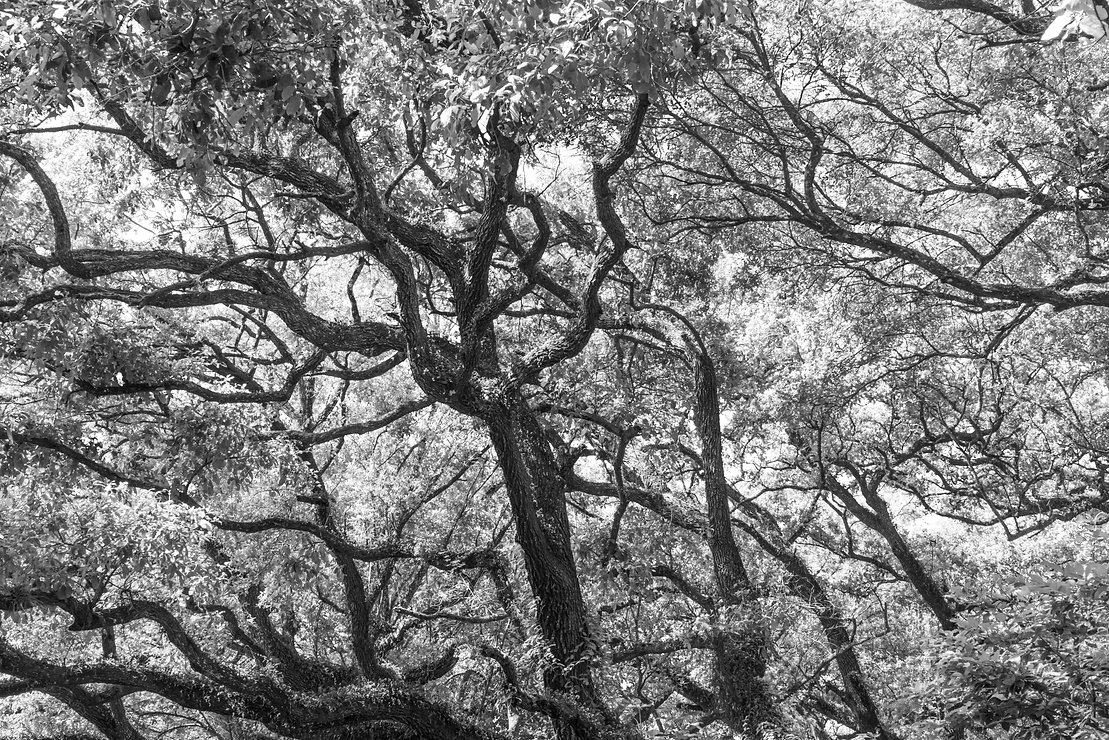 old tree, tree black & white, tree, black & white, treetops park, nature photography, fine art photography
