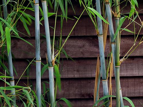 100 Sementes de Bambu Branco (Fargesia Albocerea)