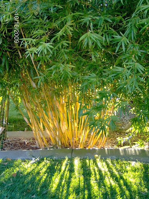 100+ Semillas de Bambú (Boringa Fungosa)