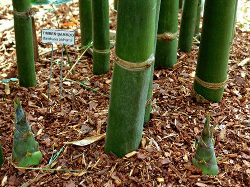 100+ Semillas de Bambú Madera (Bambusa Oldhamii)