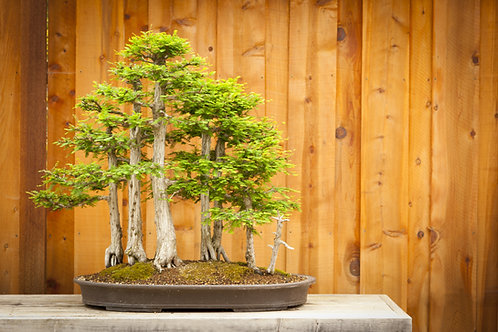 50+ Seeds Bald Cypress