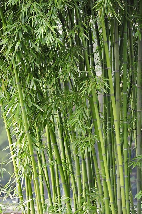 100+ Semillas Bambú (Fargesia / Borinda Yunnanensis)