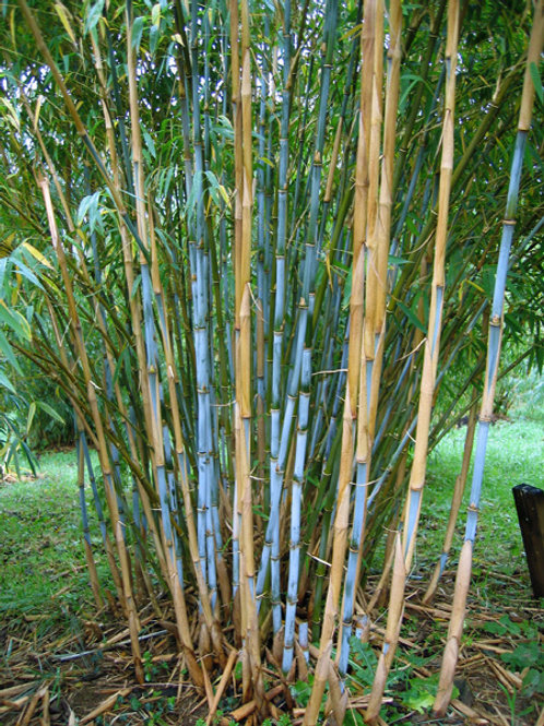 100+ Semillas de Bambú Blanco (Fargesia Albocerea)